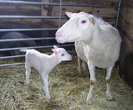 Finullstacka med lamm